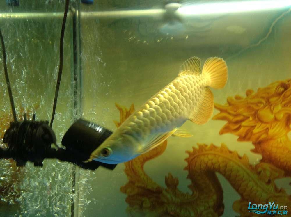 今日请的小毒物小金 北京观赏鱼 北京龙鱼第7张