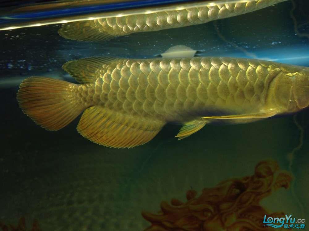 今日请的小毒物小金 北京观赏鱼 北京龙鱼第6张