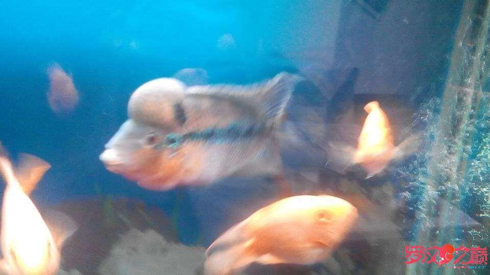 罗汉鱼的头还是不大怎么办? 北京观赏鱼 北京龙鱼第1张