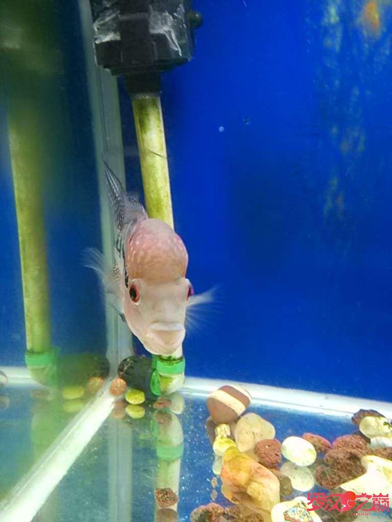 康复后的小北京白子银板鱼罗继续更新 北京观赏鱼 北京龙鱼第1张