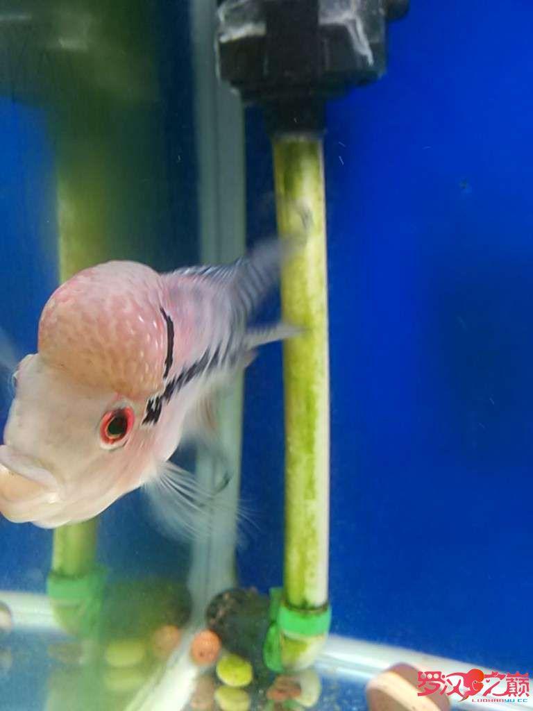 康复后的小北京白子银板鱼罗继续更新 北京观赏鱼 北京龙鱼第2张