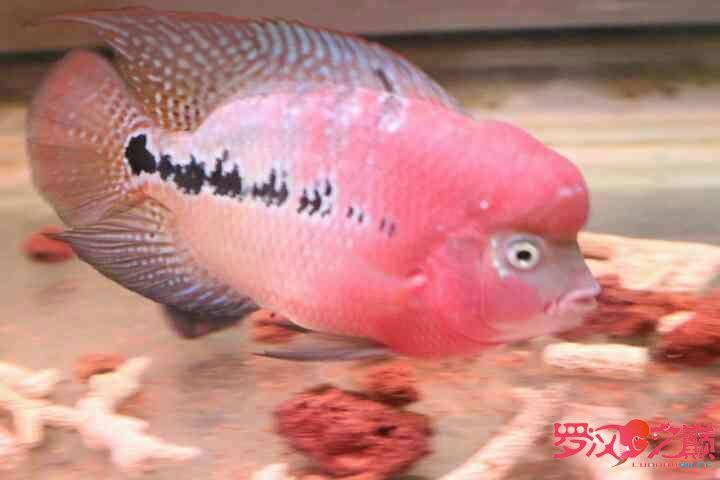 幻彩继续北京鱼缸沉木水草制作更新 北京观赏鱼 北京龙鱼第5张