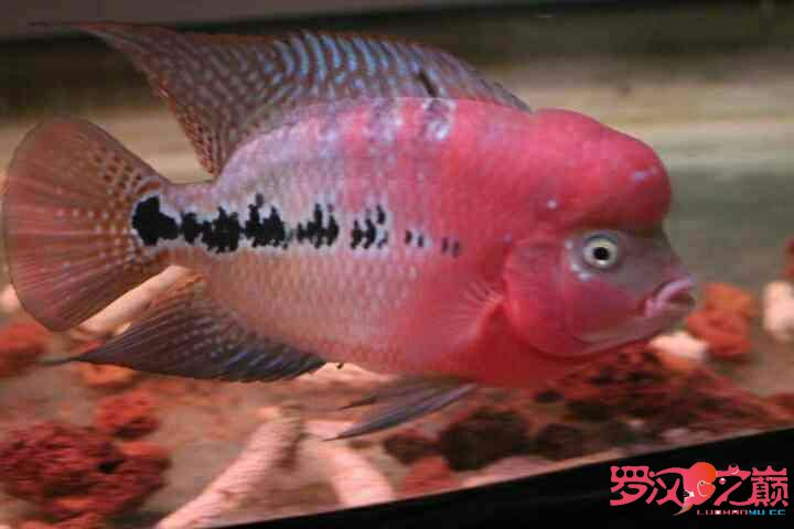 幻彩继续北京鱼缸沉木水草制作更新 北京观赏鱼 北京龙鱼第7张