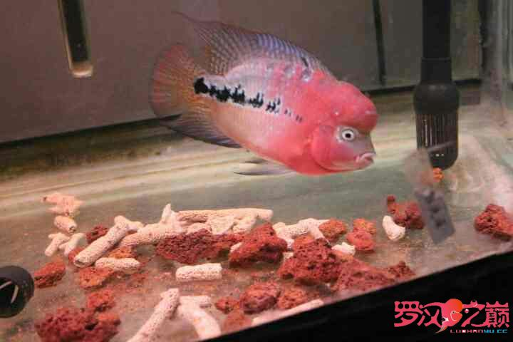 幻彩继续北京鱼缸沉木水草制作更新 北京观赏鱼 北京龙鱼第9张