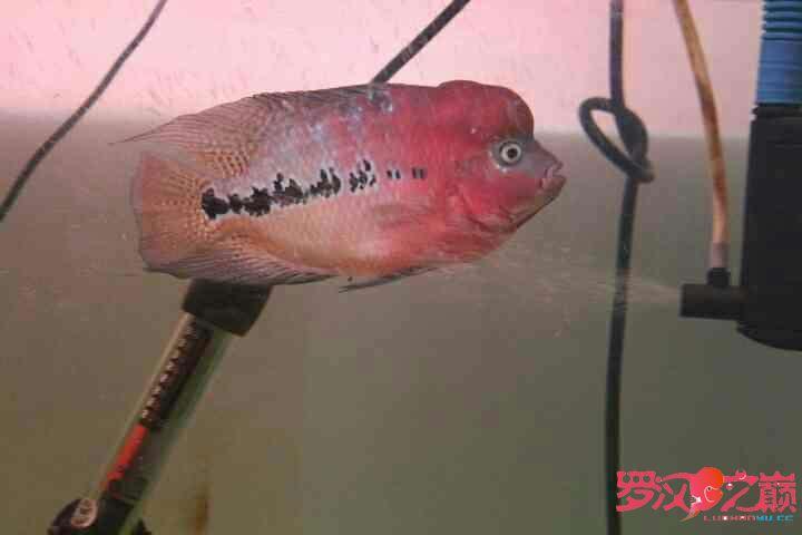 幻彩继续北京鱼缸沉木水草制作更新 北京观赏鱼 北京龙鱼第10张