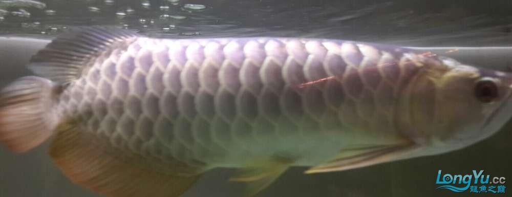 我是新手遇到一个喜欢的龙鱼想请北京三间鼠鱼到家里求高手评价一下鱼的品质4000贵 北京龙鱼论坛 北京龙鱼第1张