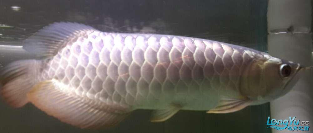 我是新手遇到一个喜欢的龙鱼想请北京三间鼠鱼到家里求高手评价一下鱼的品质4000贵 北京龙鱼论坛 北京龙鱼第2张