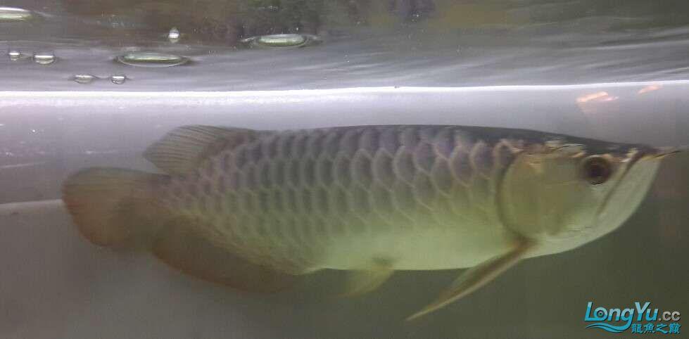 我是新手遇到一个喜欢的龙鱼想请北京三间鼠鱼到家里求高手评价一下鱼的品质4000贵 北京龙鱼论坛 北京龙鱼第4张