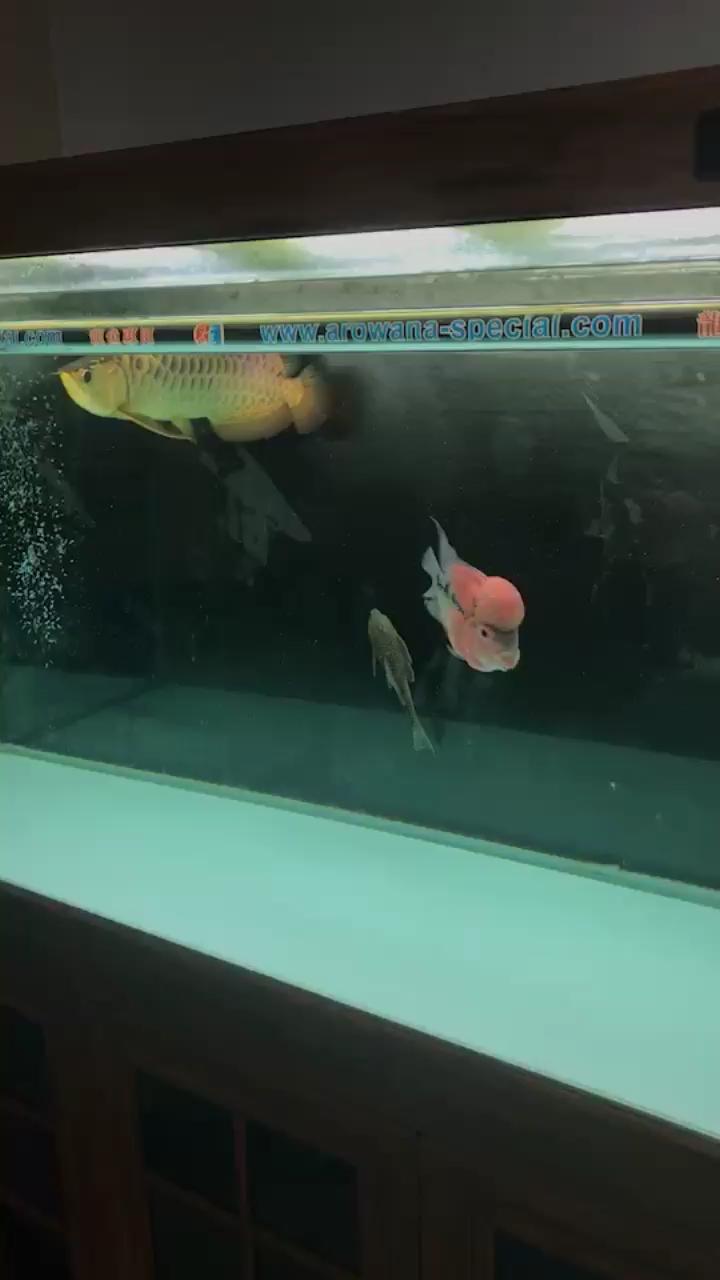 我说是三无没人信 北京观赏鱼 北京龙鱼第1张