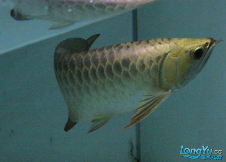 请欣赏聚龙阁顶级金头过背金龙[已售] 北京观赏鱼 北京龙鱼第1张