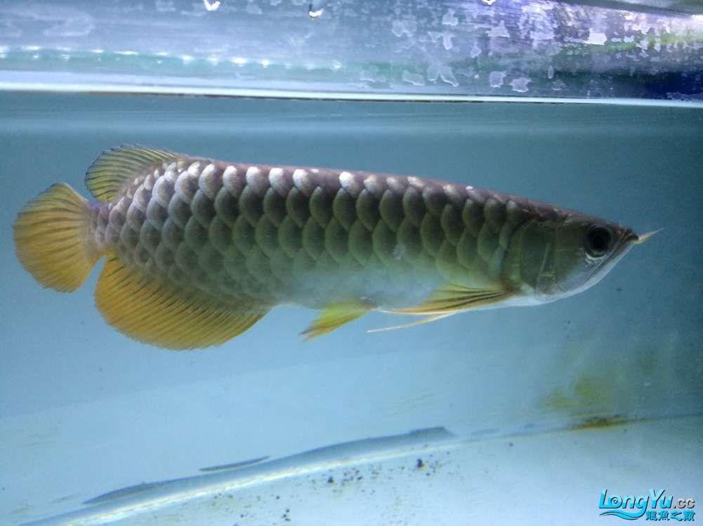 马上就请回来的小龙 北京观赏鱼 北京龙鱼第1张