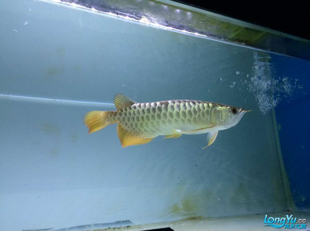 马上就请回来的小龙 北京观赏鱼 北京龙鱼第3张