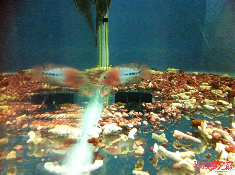 5个多月的成长 北京龙鱼论坛 北京龙鱼第1张