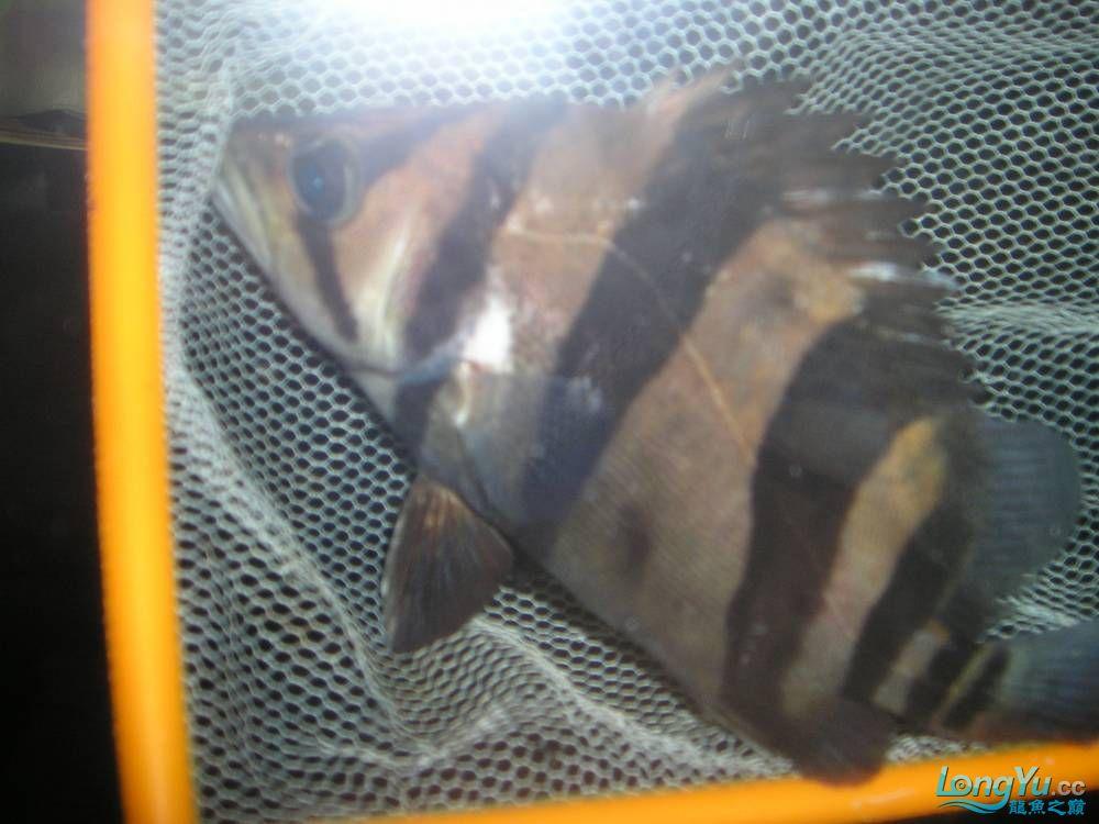 和谐混养一年小虎已有15公分 北京观赏鱼 北京龙鱼第3张