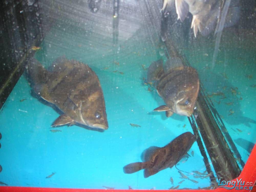 和谐混养一年小虎已有15公分 北京观赏鱼 北京龙鱼第2张