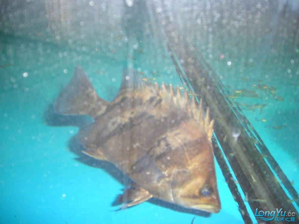和谐混养一年小虎已有15公分 北京观赏鱼 北京龙鱼第6张