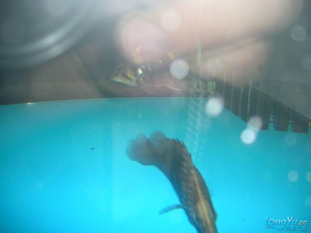 和谐混养一年小虎已有15公分 北京观赏鱼 北京龙鱼第5张