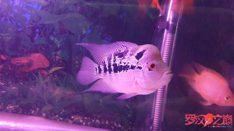 求大神们看看这个是什么罗怎么没颜色的?是不是被坑了 北京观赏鱼 北京龙鱼第3张