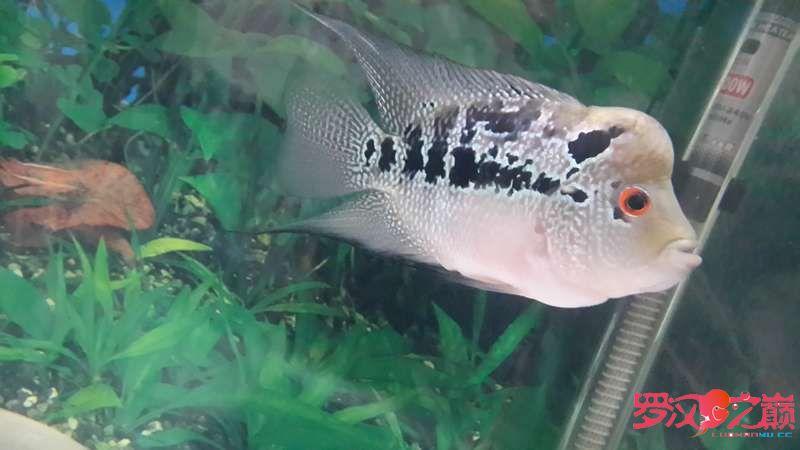 求大神们看看这个是什么罗怎么没颜色的?是不是被坑了 北京观赏鱼 北京龙鱼第7张