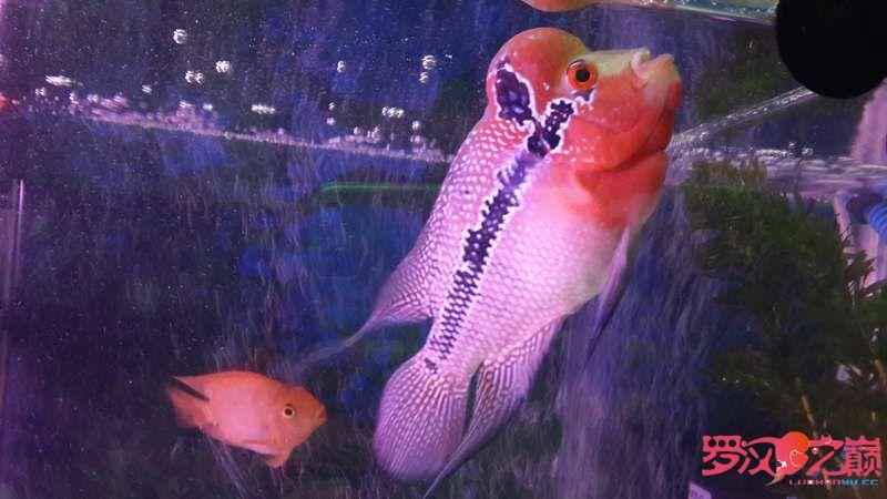 求大神们看看这个是什么罗怎么没颜色的?是不是被坑了 北京观赏鱼 北京龙鱼第8张
