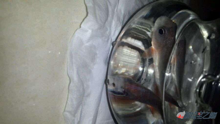 这是不是水虎鱼?水虎鱼吃什么? 北京龙鱼论坛 北京龙鱼第3张