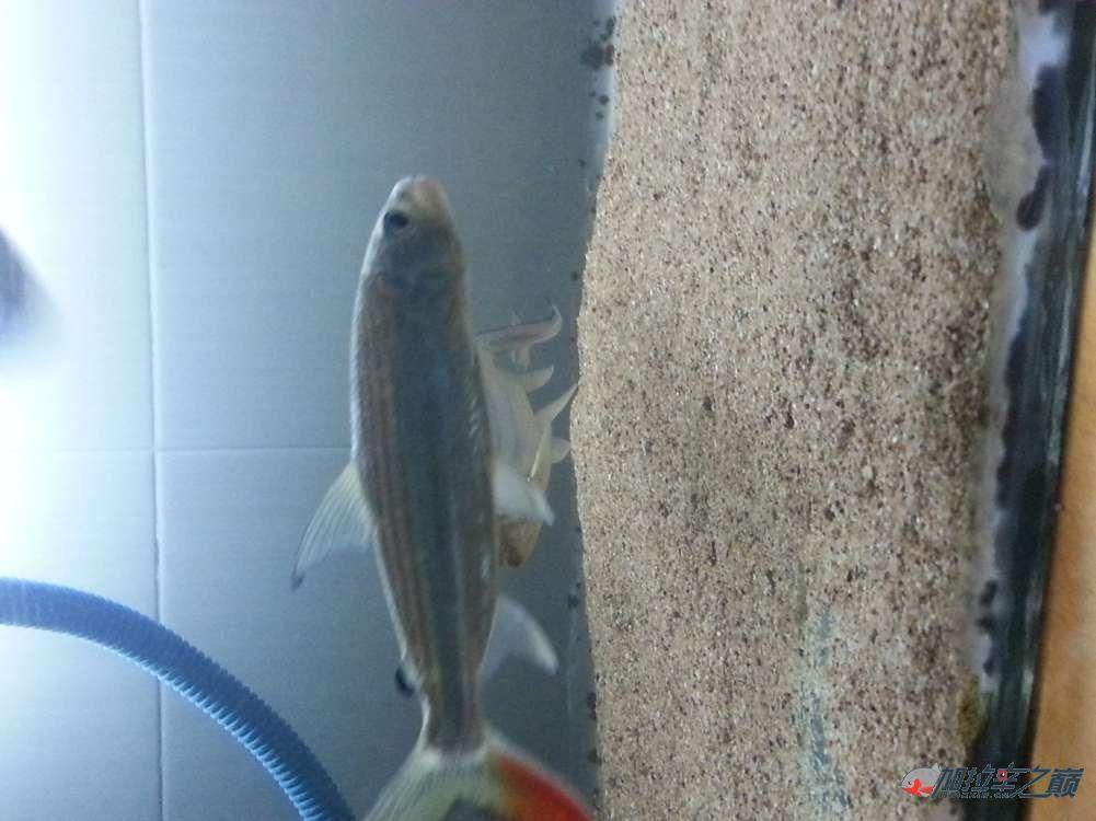 黄金猛鱼到家第二天 北京龙鱼论坛 北京龙鱼第1张
