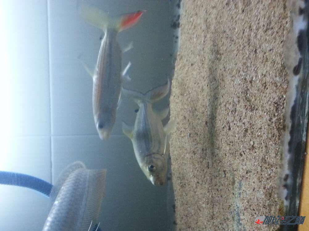 黄金猛鱼到家第二天 北京龙鱼论坛 北京龙鱼第2张