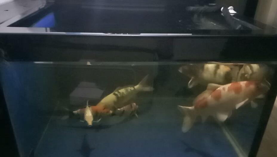 至北京哪个水族市场便宜于么锦鲤 北京观赏鱼 北京龙鱼第1张