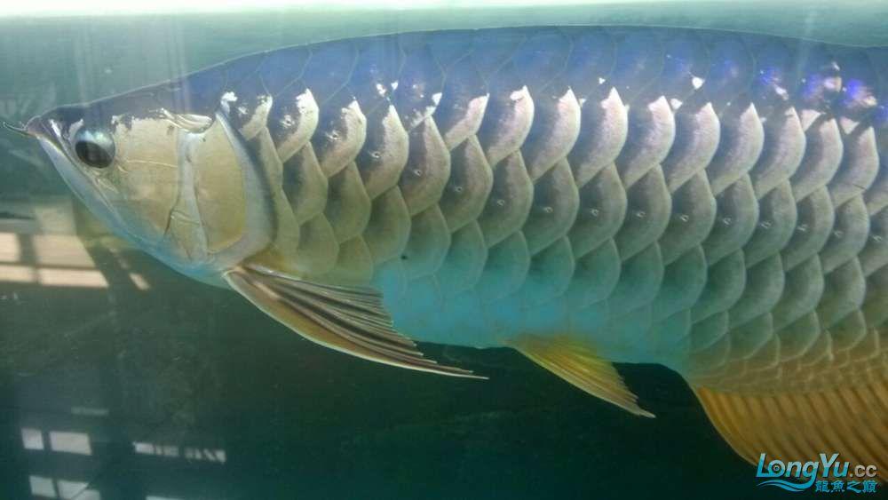 金龙鱼 身上有黑点怎么回事??? 北京观赏鱼 北京龙鱼第2张