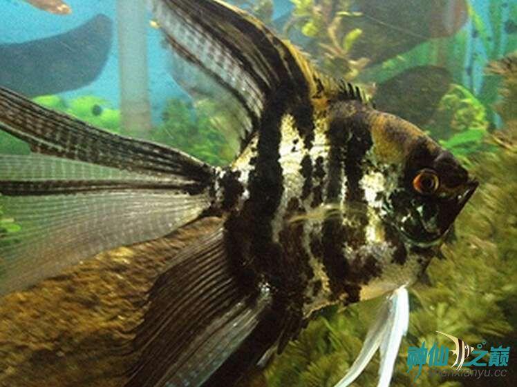 这是什么品种?有谁知道吗? 北京观赏鱼 北京龙鱼第3张