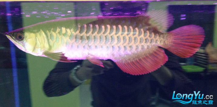 好美的金质看了都过隐 北京龙鱼论坛 北京龙鱼第1张
