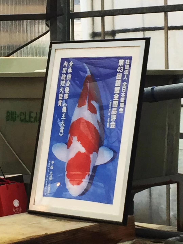 六月我们用半个月走访了日本的锦鲤园 北京龙鱼论坛 北京龙鱼第4张