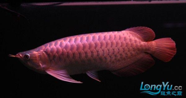 挑战按金龙的方法养红龙连续报道 北京观赏鱼 北京龙鱼第2张