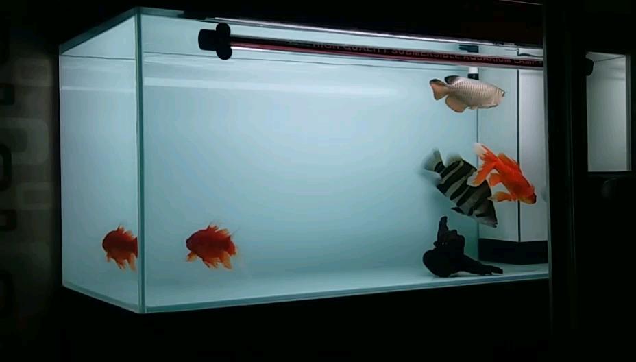 晨拍视频拍不出它的效果 北京观赏鱼 北京龙鱼第1张
