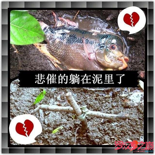 罗汉鱼暴尸荒野 北京龙鱼论坛 北京龙鱼第1张