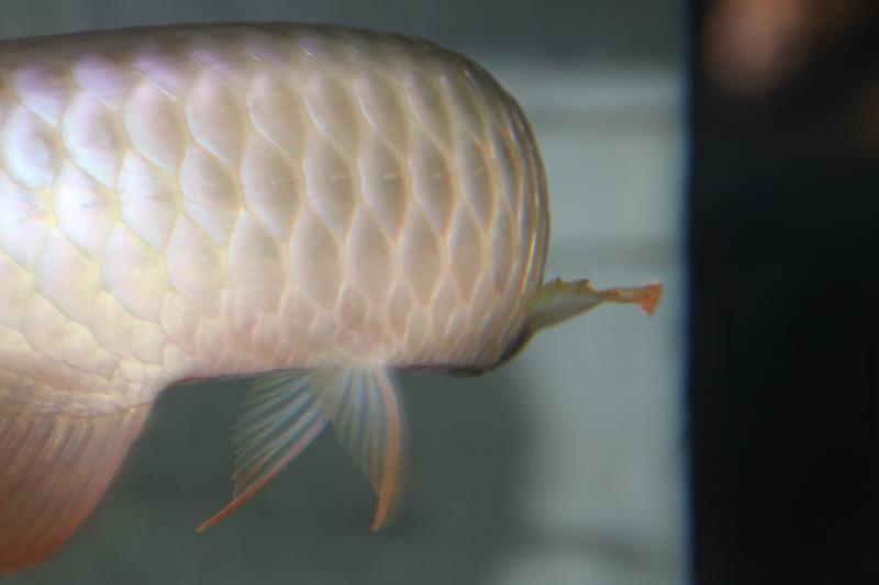 细菌性立鳞治疗实践分享 北京观赏鱼 北京龙鱼第2张