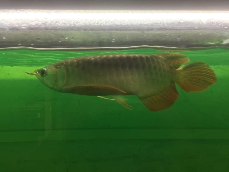 细菌性立鳞治疗实践分享 北京观赏鱼 北京龙鱼第7张