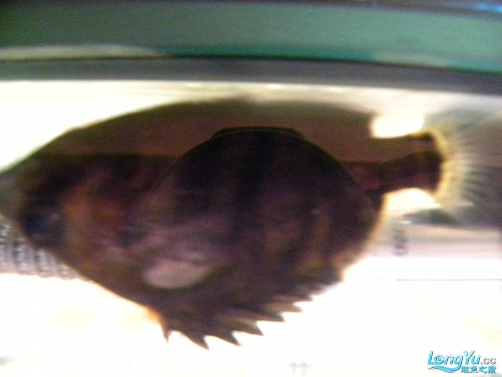急急急急急 大家帮忙看看有图片 北京观赏鱼 北京龙鱼第3张
