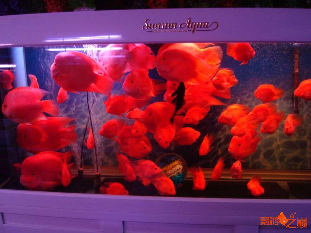 来两张密密麻麻的满缸红 北京龙鱼论坛 北京龙鱼第1张