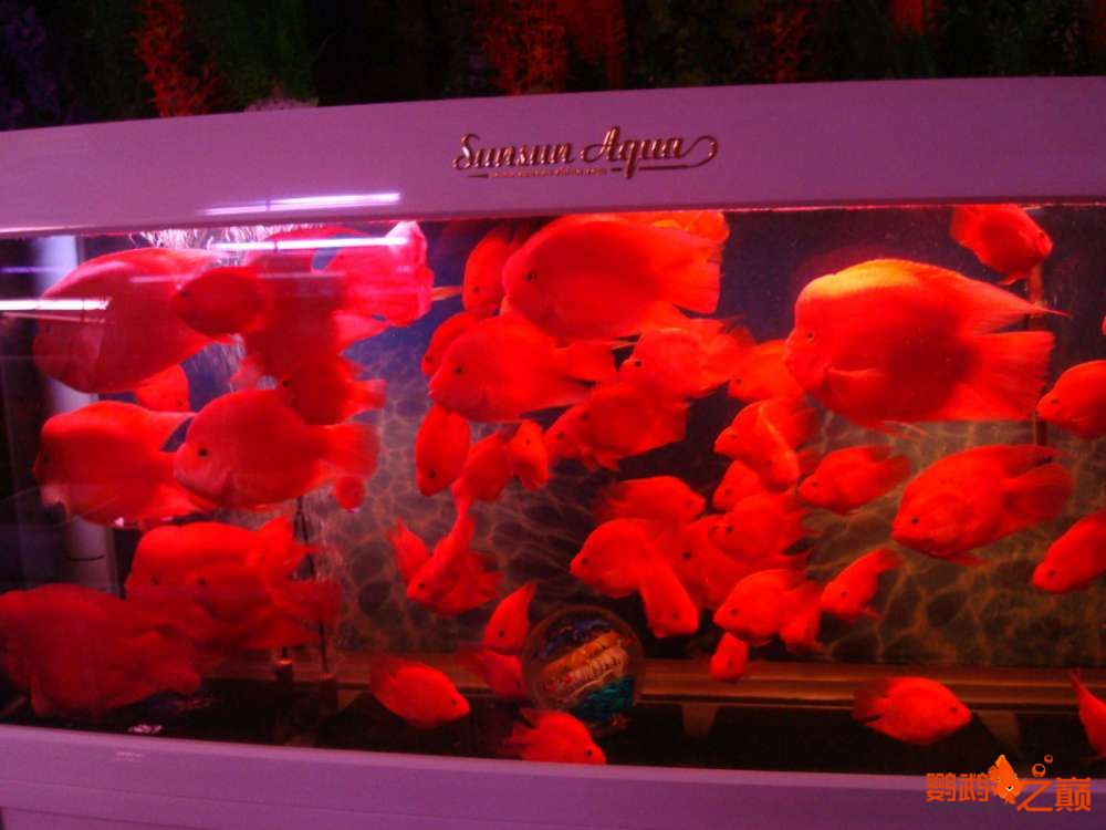 来两张密密麻麻的满缸红 北京龙鱼论坛 北京龙鱼第2张
