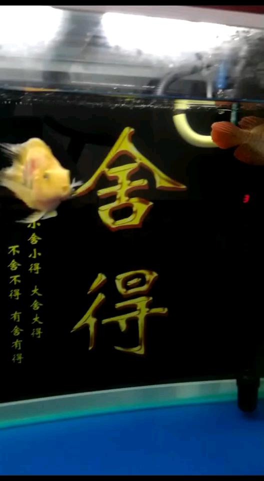 印尼超血红龙龙鱼 北京观赏鱼 北京龙鱼第1张