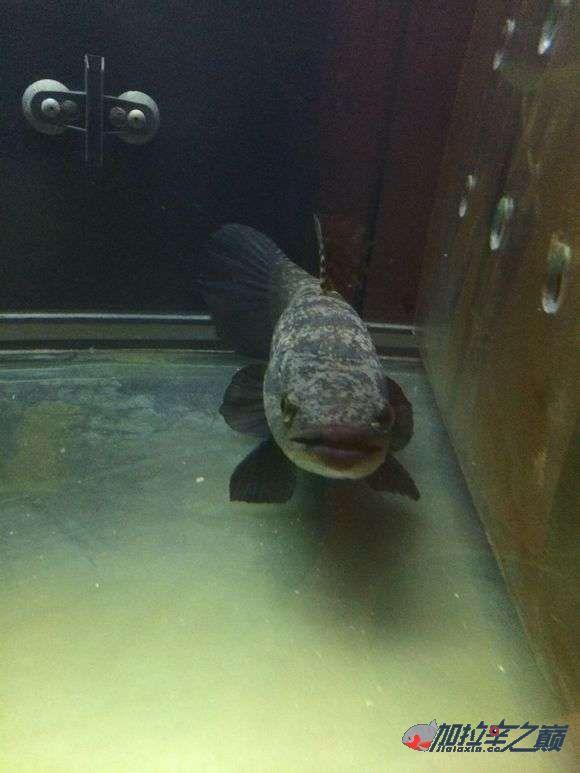 霸气的巴西黑牙 北京观赏鱼 北京龙鱼第1张