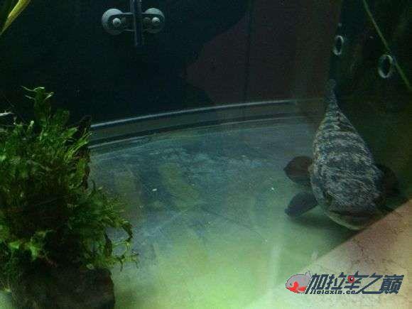 霸气的巴西黑牙 北京观赏鱼 北京龙鱼第2张