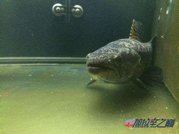 霸气的巴西黑牙 北京观赏鱼 北京龙鱼第4张