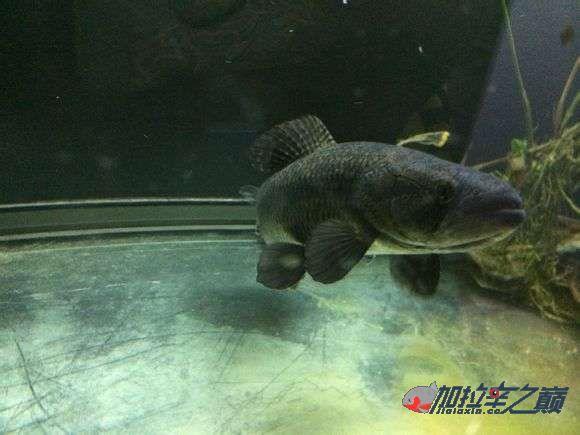 霸气的巴西黑牙 北京观赏鱼 北京龙鱼第6张