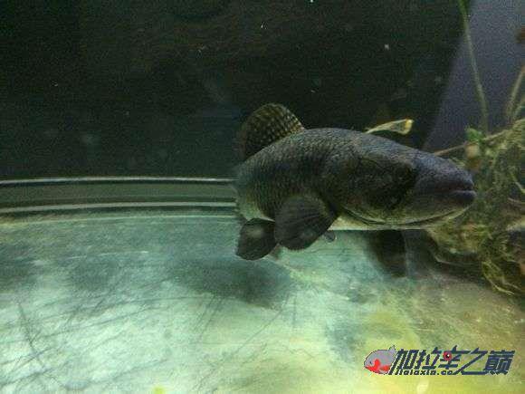 霸气的巴西黑牙 北京观赏鱼 北京龙鱼第5张