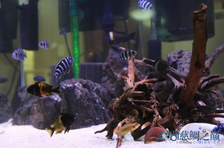 发点以前养三湖慈鲷 北京龙鱼论坛 北京龙鱼第8张