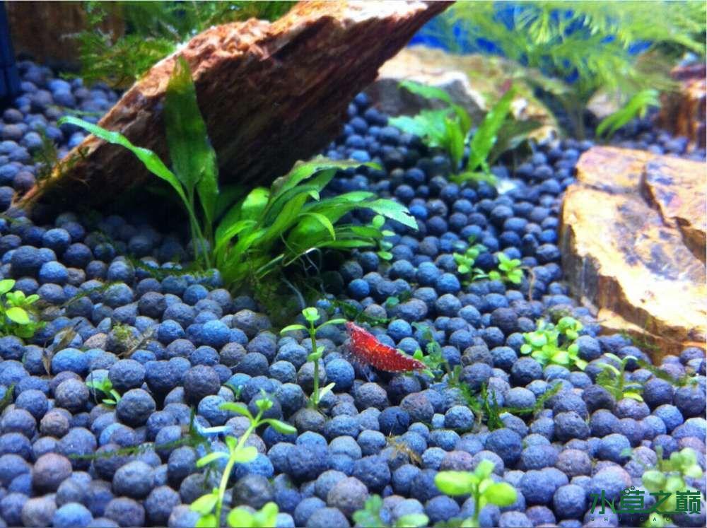 我养的小虾一直在啃食我的迷你矮为什么? 北京观赏鱼 北京龙鱼第1张