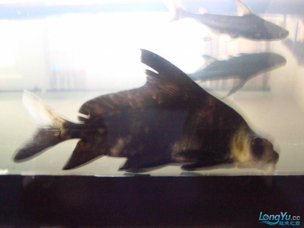 有人知道这是什么鱼吗? 北京龙鱼论坛 北京龙鱼第1张