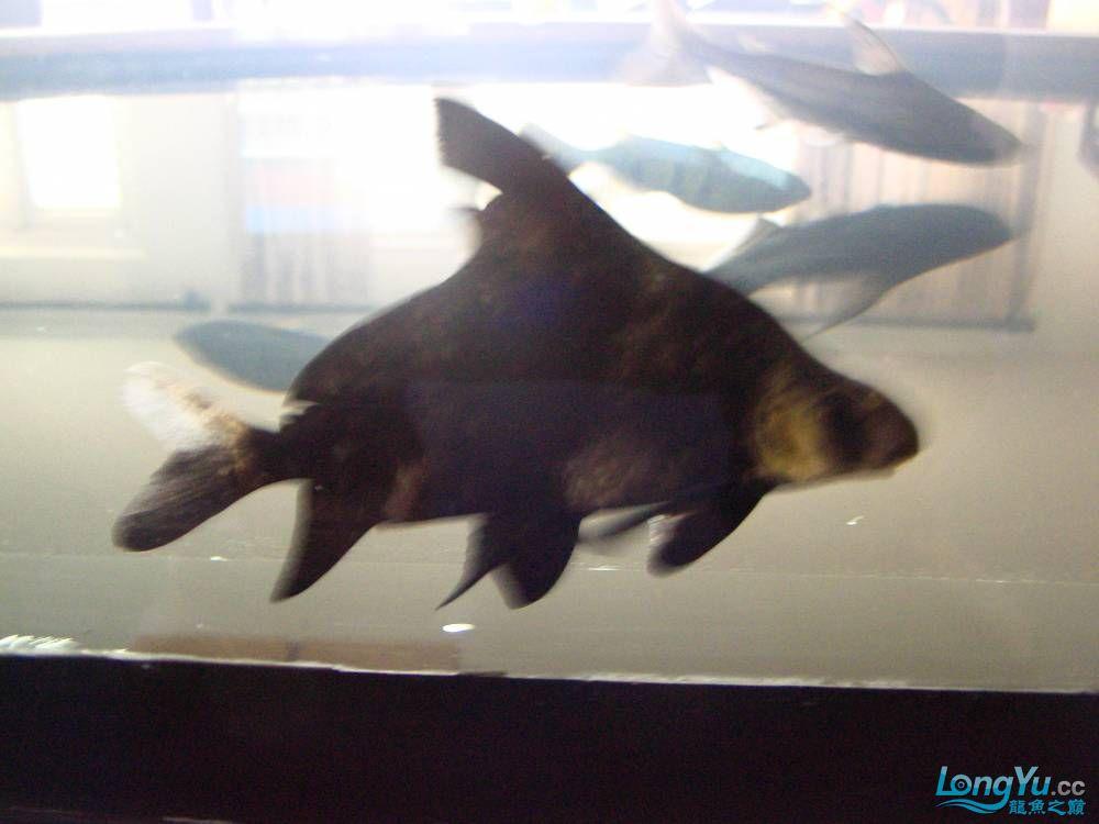 有人知道这是什么鱼吗? 北京龙鱼论坛 北京龙鱼第2张